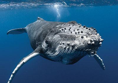 https://tahititourisme.com.au/wp-content/uploads/2018/07/sejours-plongees-baleine-e-tahiti-travel-1.jpg