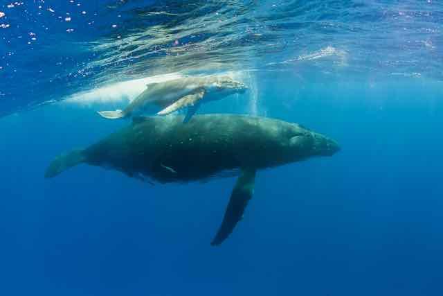 https://tahititourisme.com.au/wp-content/uploads/2019/04/Bora-Bora-Humpback-Whales.jpeg