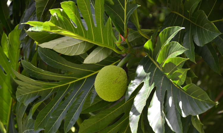 Uru - breadfruit