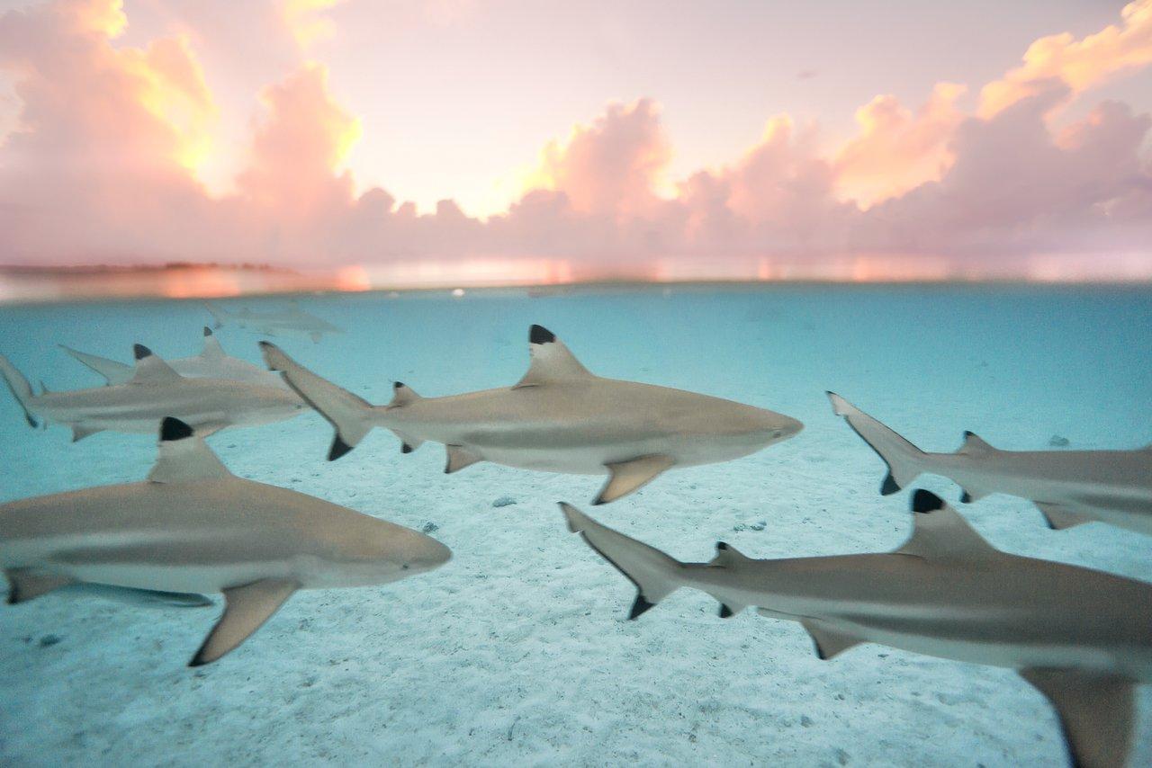 https://tahititourisme.com.au/wp-content/uploads/2020/06/blacktip-reef-shark-sunset.jpg