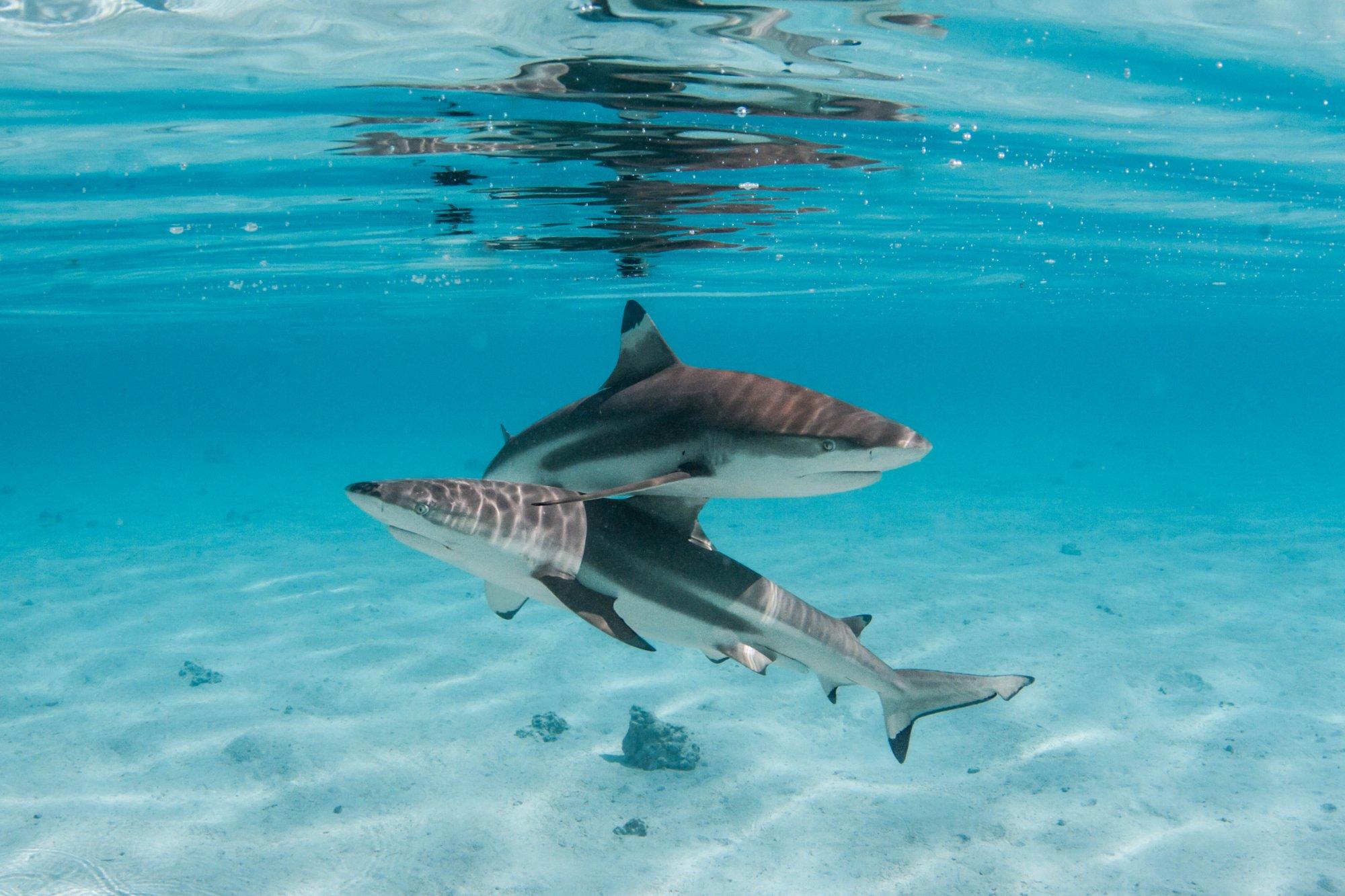 https://tahititourisme.com.au/wp-content/uploads/2020/06/deux-magnifiques-requins.jpg