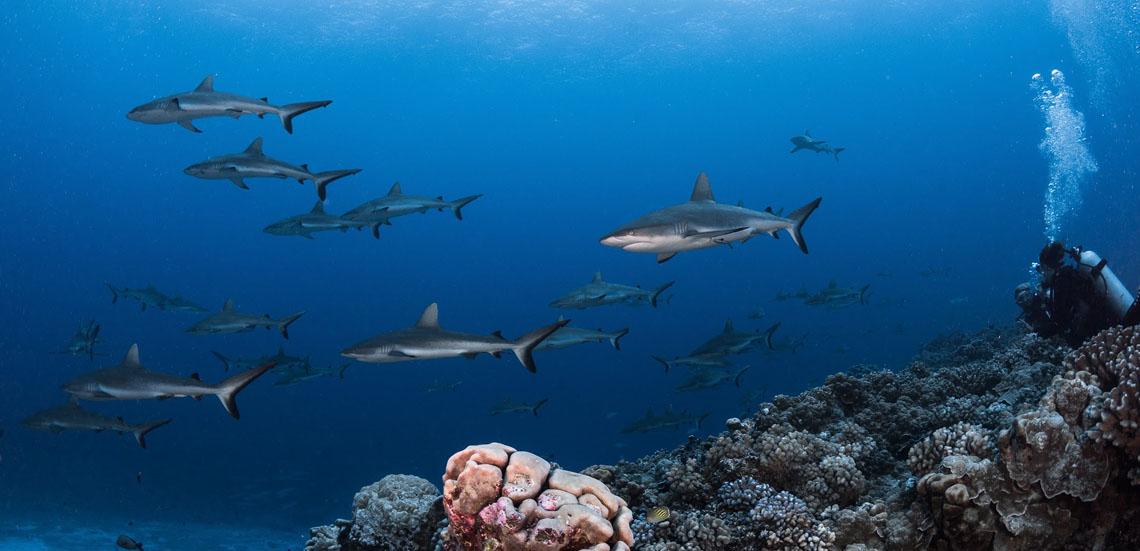 https://tahititourisme.com.au/wp-content/uploads/2021/09/Fakarava-Sharks-Greg-Lecoeur-Top-Dive1140.jpg